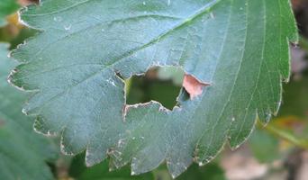 いちごの病気と害虫
