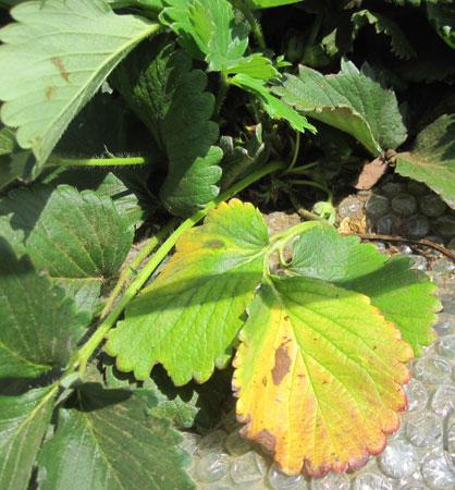 イチゴの育て方、摘葉