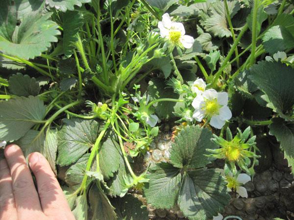イチゴの花 たくさん開花