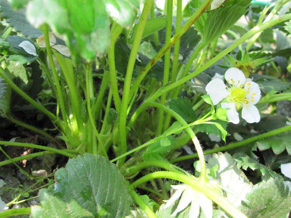 イチゴ育て方 開花