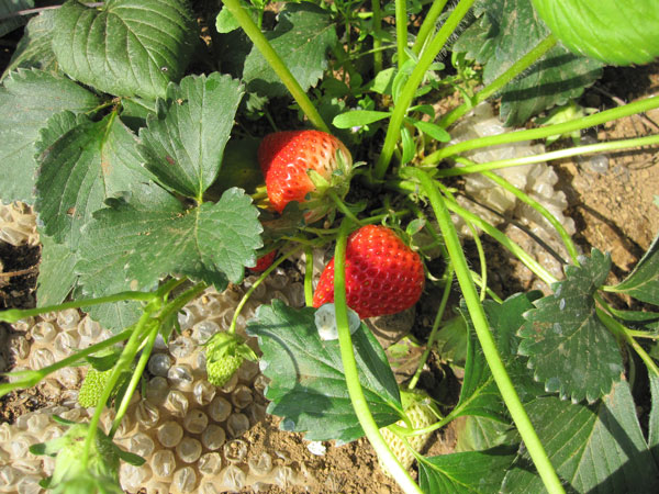 イチゴ育て方 赤い実