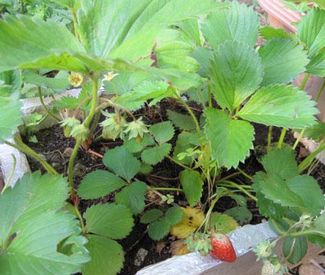 発泡スチロール イチゴ栽培